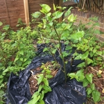 Japanese Knotweed Removal in Brownhills