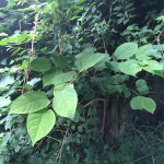 Removal of Japanese Knotweed in St Helens