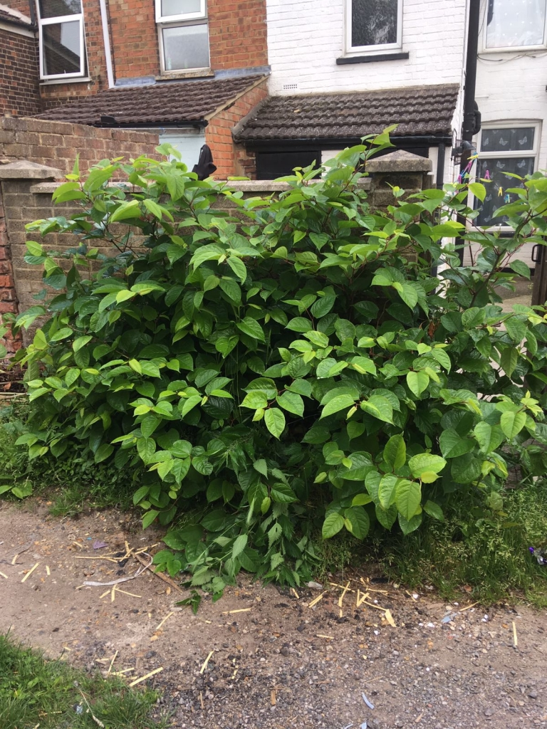Japanese Knotweed Removal in Formby