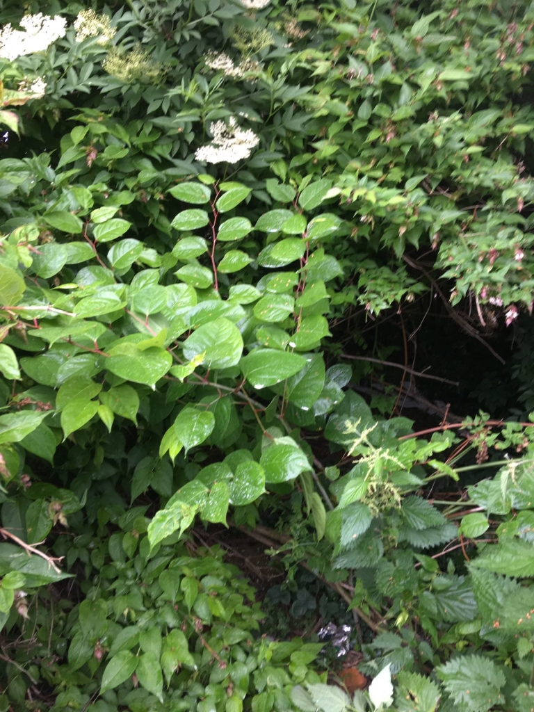 Removal of Japanese Knotweed in Gornal