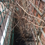 Removal of Japanese Knotweed in Rainhill - Winter Growth