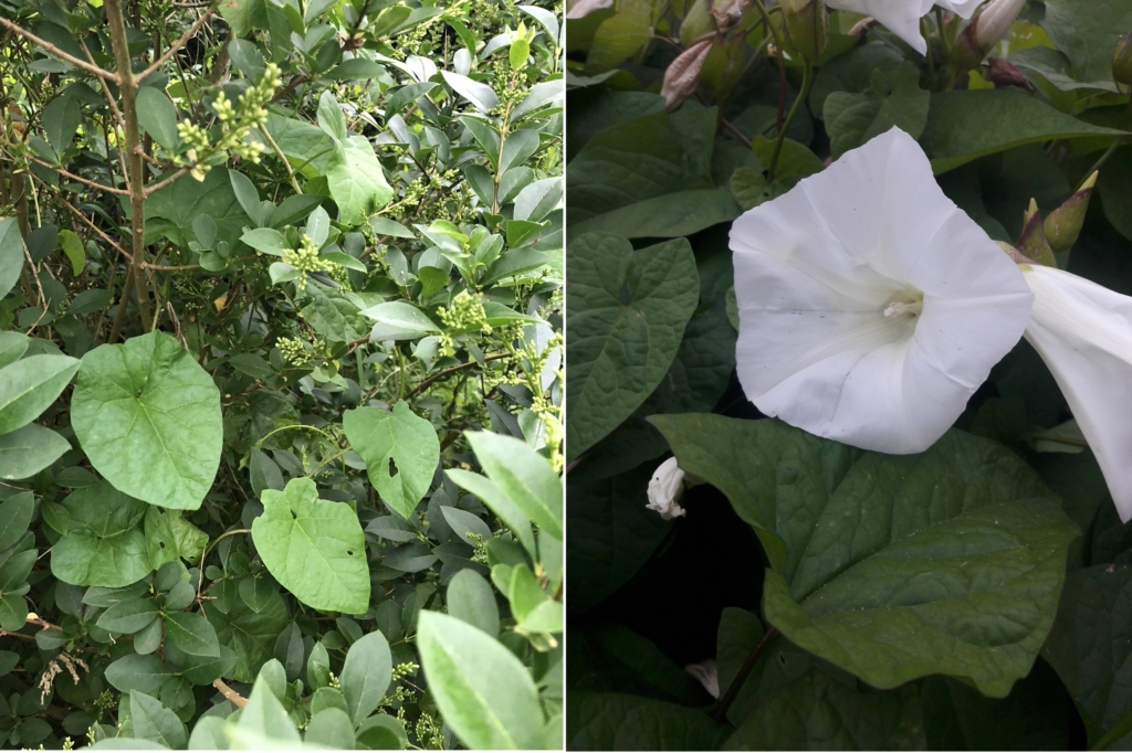 Convulvulus arvensis - Commonly known as Bindweed