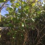 Japanese Knotweed Removal in Ledbury