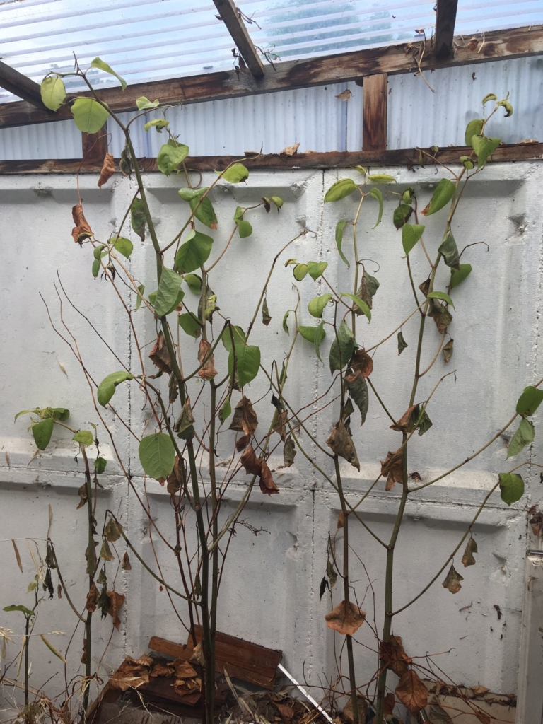 Eradicating Japanese Knotweed in Malvern