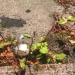 Japanese Knotweed Eradication in St Johns