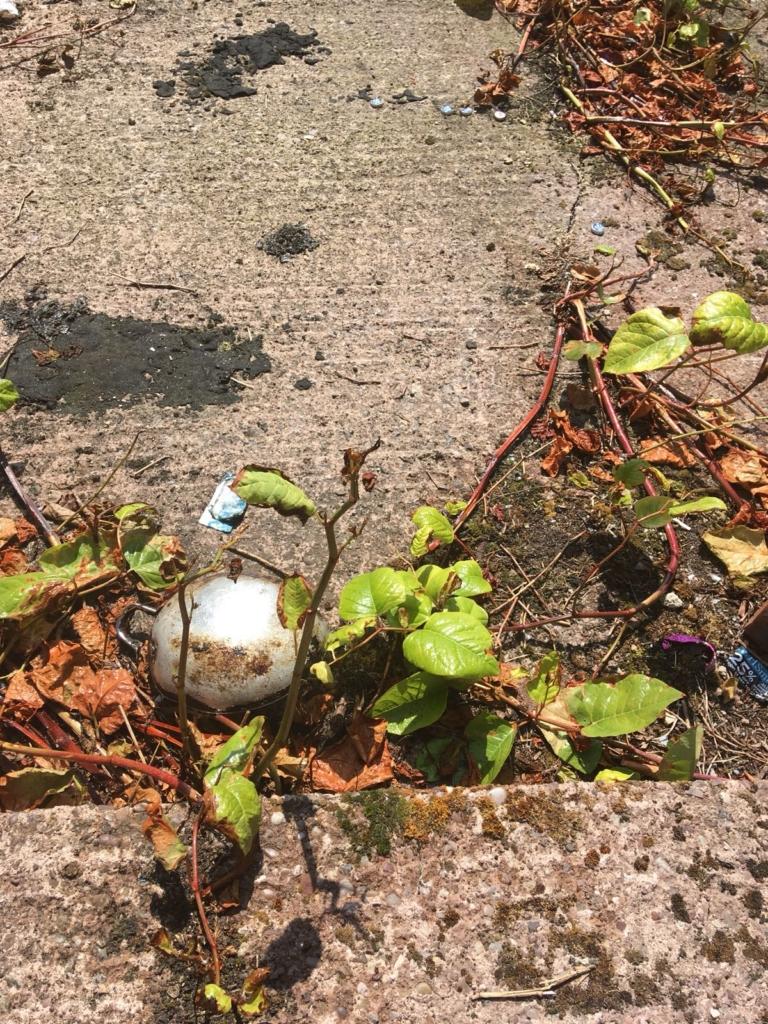 Japanese Knotweed In Your Garden: Japanese Knotweed Eradication In St Johns