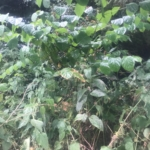 Japanese Knotweed Removal in Upton-upon-Severn