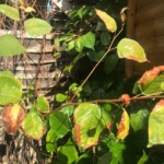 Japanese Knotweed Eradication in Bromsgrove