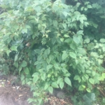 Removal of Japanese Knotweed in Ross-on-Wye