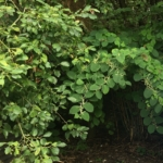 Japanese Knotweed Removal in Northampton