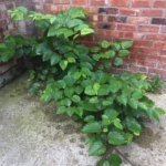 Japanese Knotweed Removal in Raunds