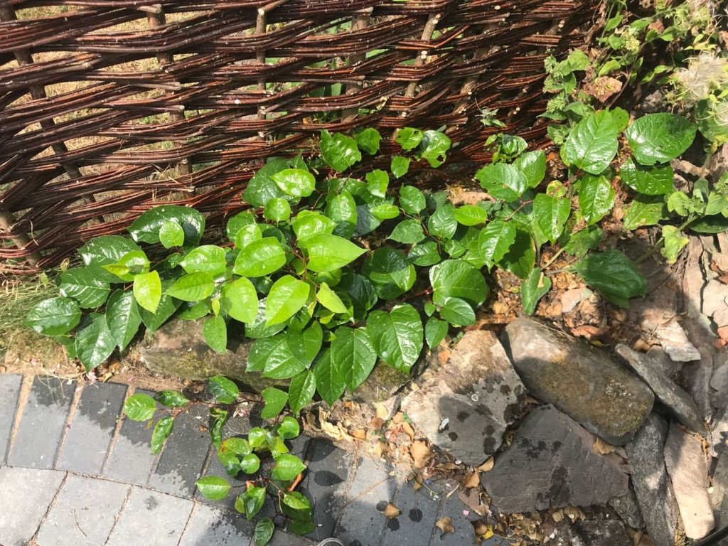 Removal of Japanese Knotweed