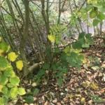 Japanese Knotweed Eradication in Wellingborough