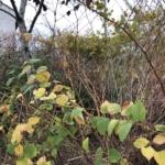 Japanese Knotweed Eradication in Oundle