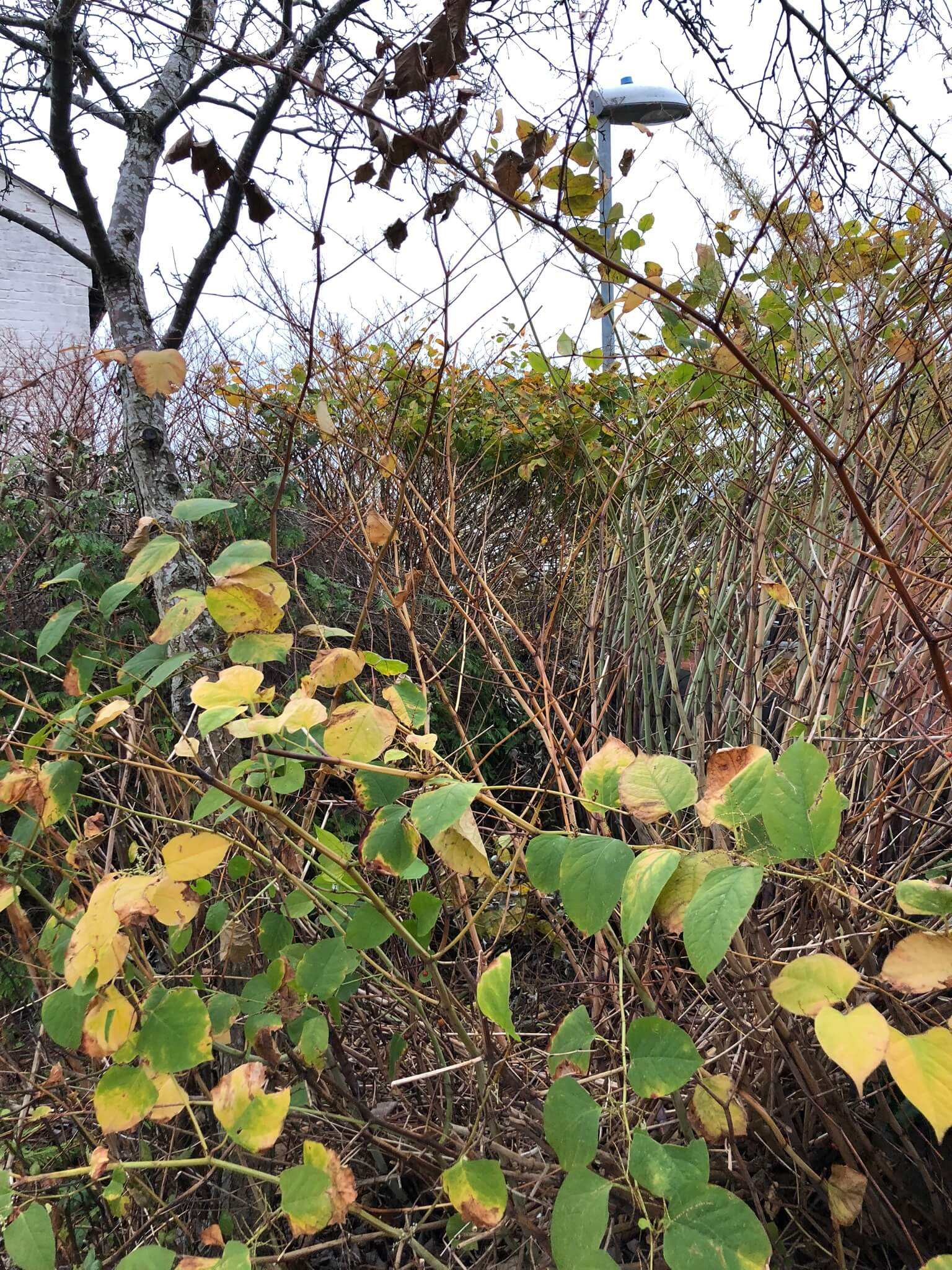 Japanese Knotweed Eradication in Oundle