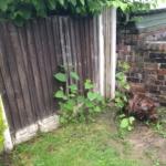 Eradication of Japanese Knotweed in Rothwell