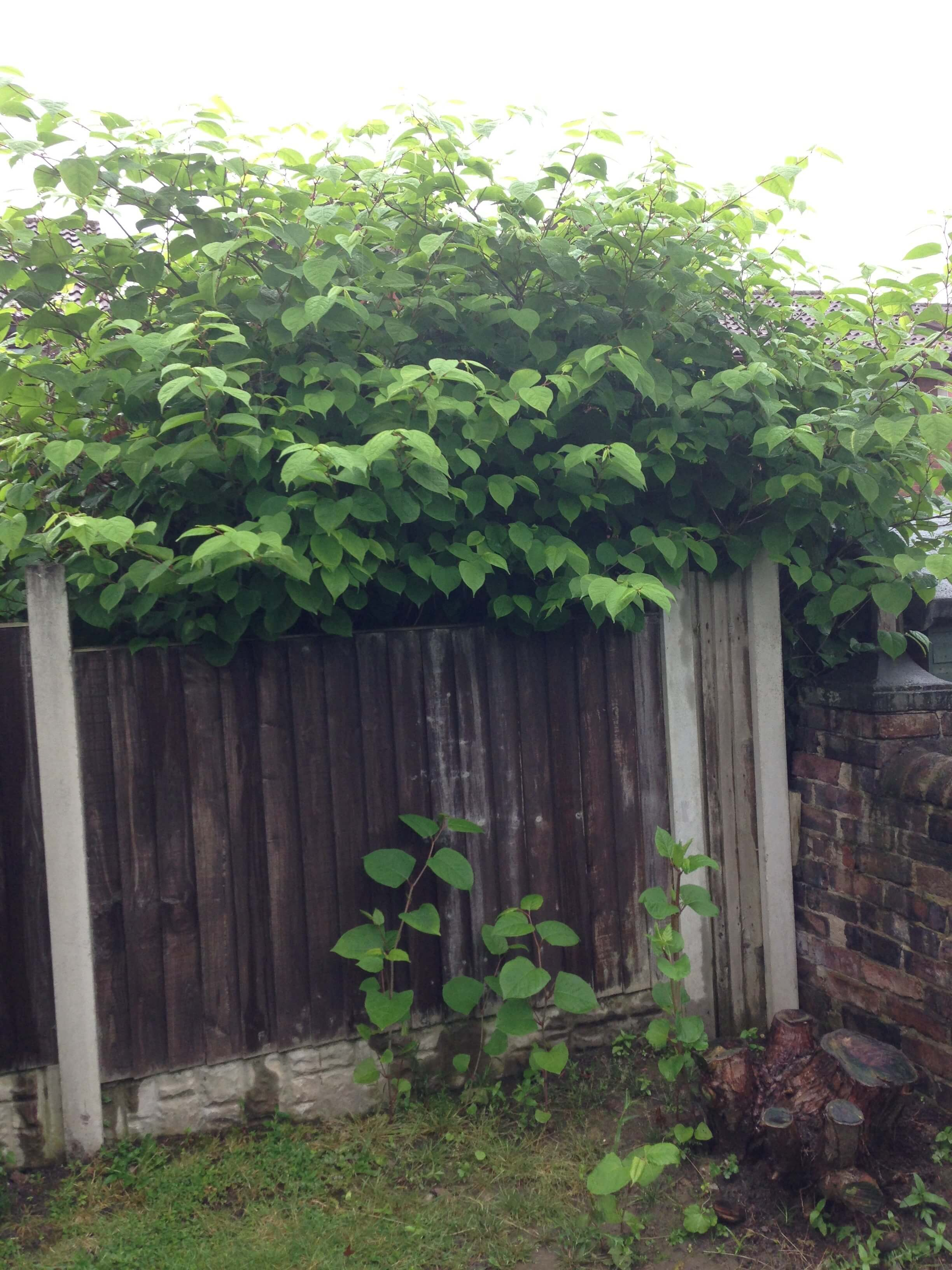 Removing Japanese Knotweed in Bury Mount