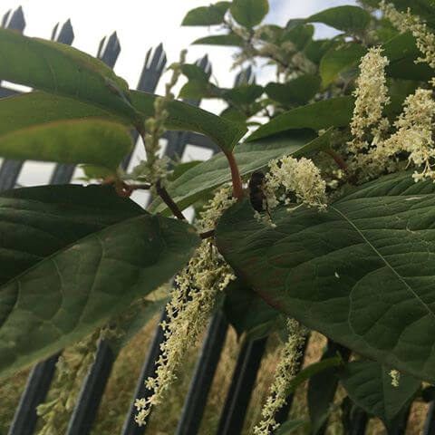 Close up of Japanese Knotweed