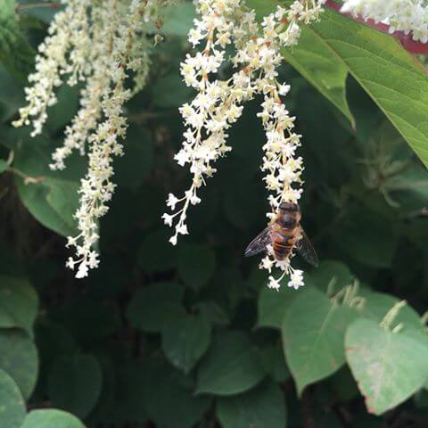 Bee on Japanese Knotweed Flower