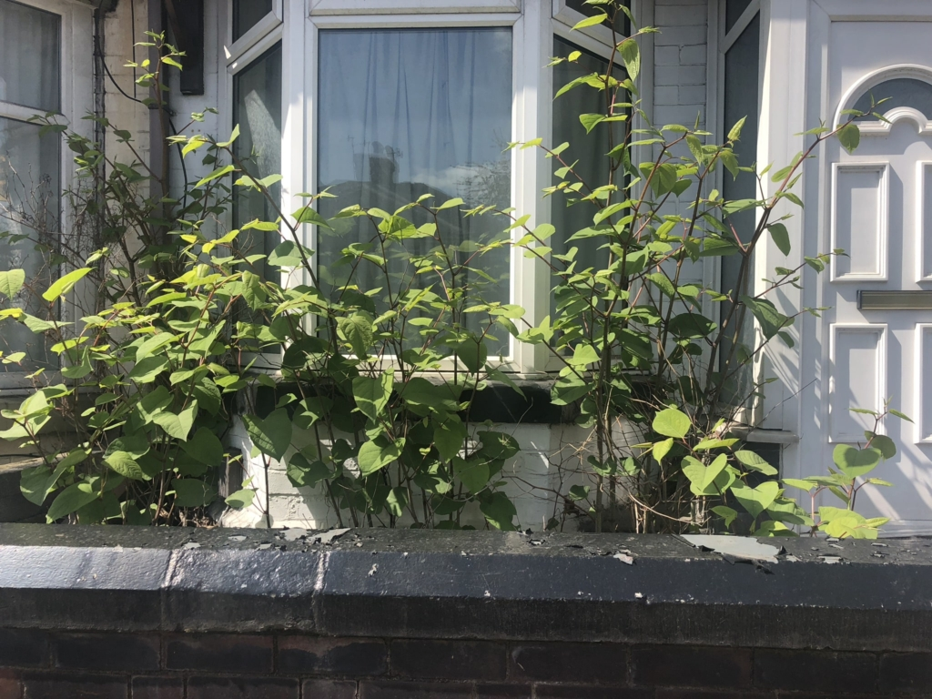 Japanese knotweed infestation right outside a home