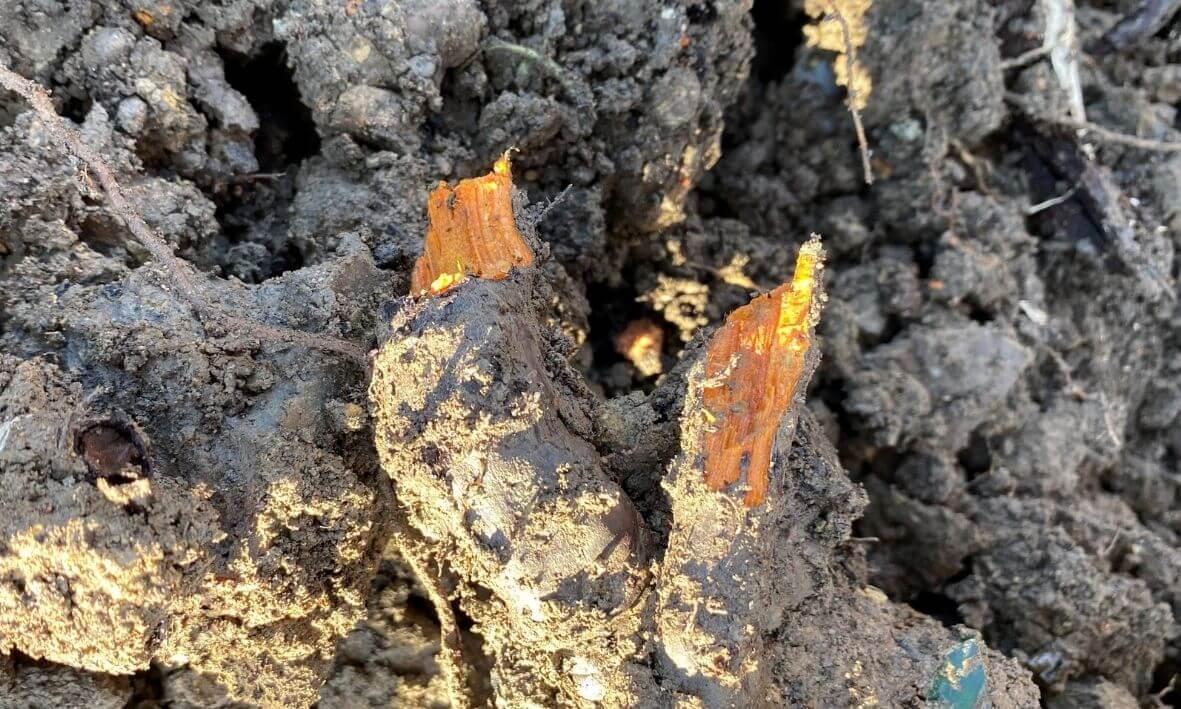 Knotweed root