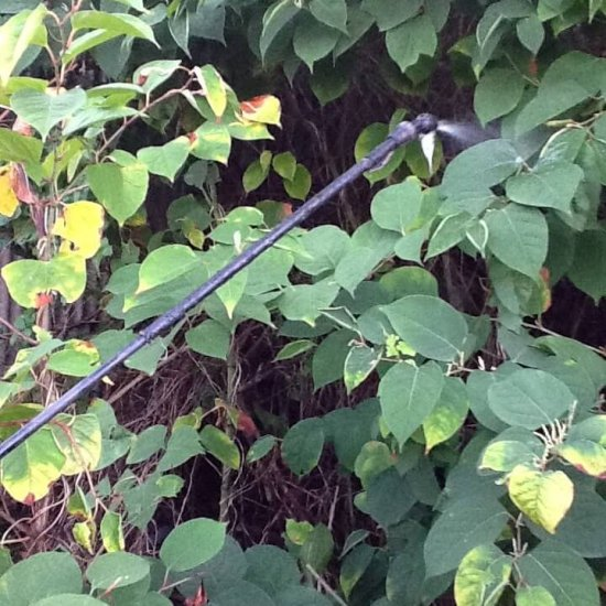 Treating Japanese knotweed
