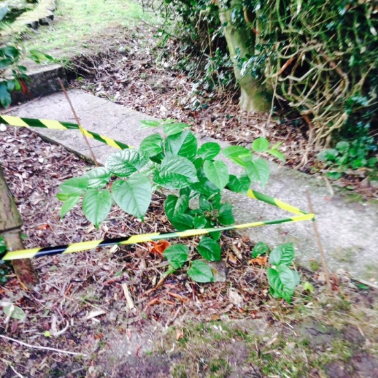 Small stand of Japanese knotweed