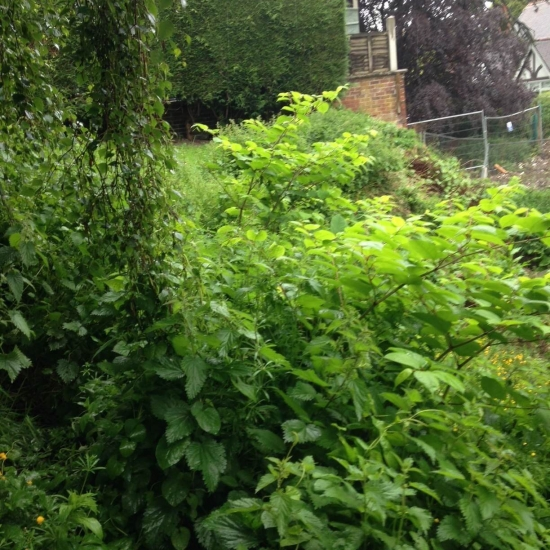 Japanese Knotweed before treatment