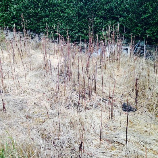Japanese knotweed after treatment
