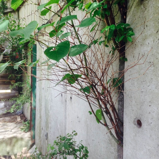 Japanese Knotweed growing threw a concrete retaining wall