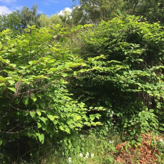 Japanese knotweed before any treatment