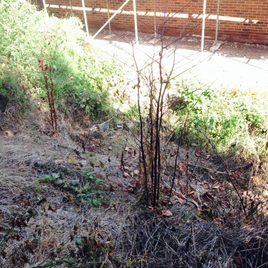 Japanese knotweed after three treatments