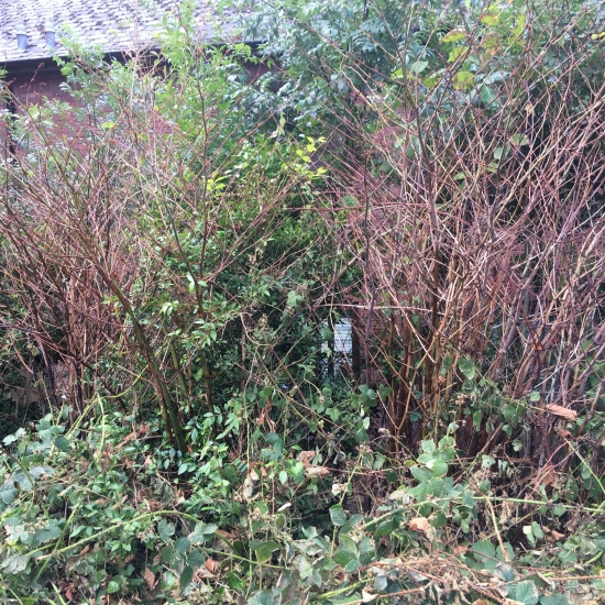 Japanese knotweed after one treatment