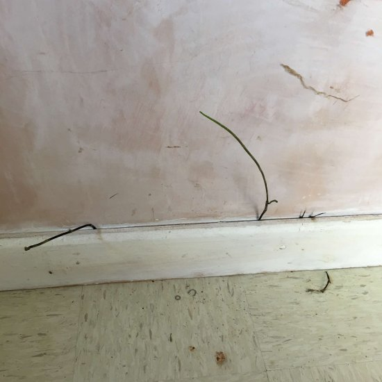 Marestail growing inside house