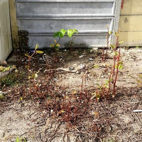 Dead Japanese knotweed