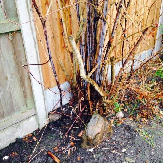 Japanese knotweed in the Winter