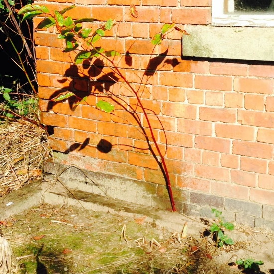 Japanese knotweed growing at the side of a house