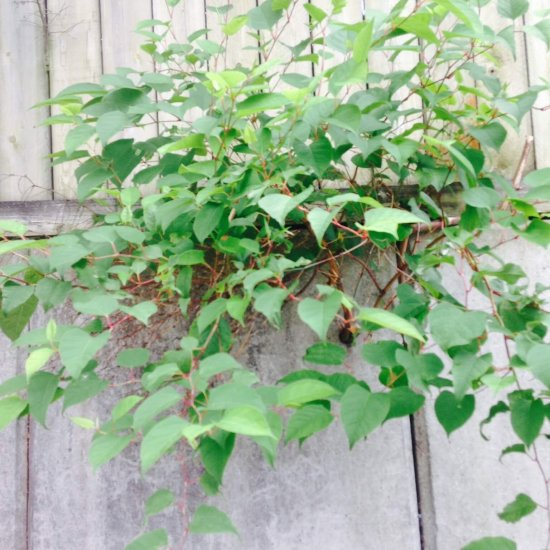 Japanese knotweed growing through a wall