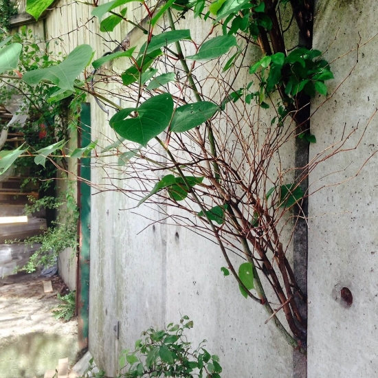 Japanese knotweed growing threw a wall